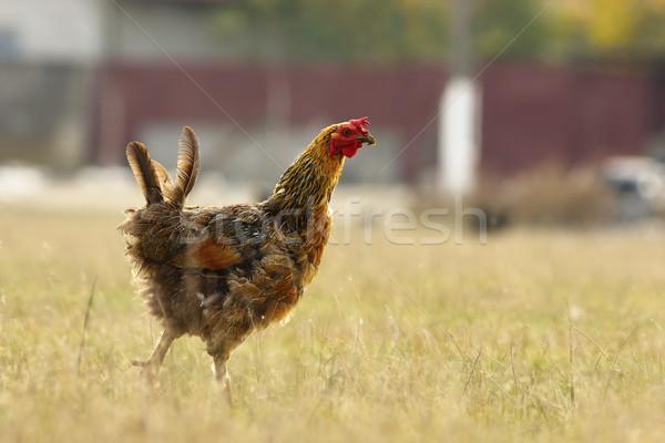 Funny Henne Wiese kostenlos bio Bauernhof Stock foto © taviphoto