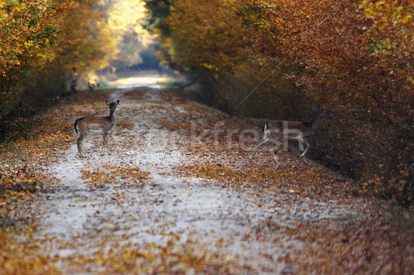 fallow deers passing road in the forest Stock photo © taviphoto