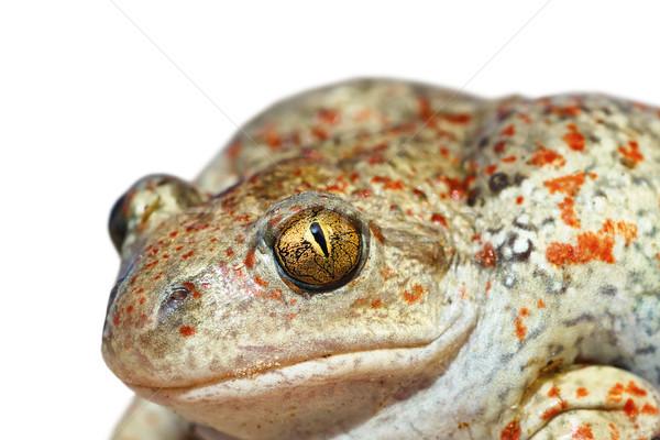 изолированный портрет чеснока жаба белый фон Сток-фото © taviphoto