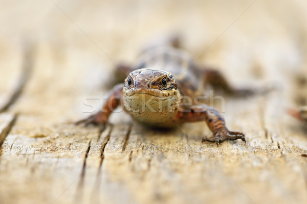 close up of viviparous lizard on wood board Stock photo © taviphoto