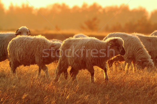 sheep herd in beautiful orange dawn light Stock photo © taviphoto