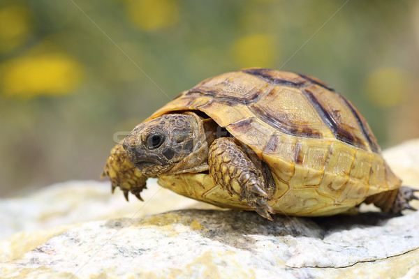 Testudo graeca walking on a rock Stock photo © taviphoto