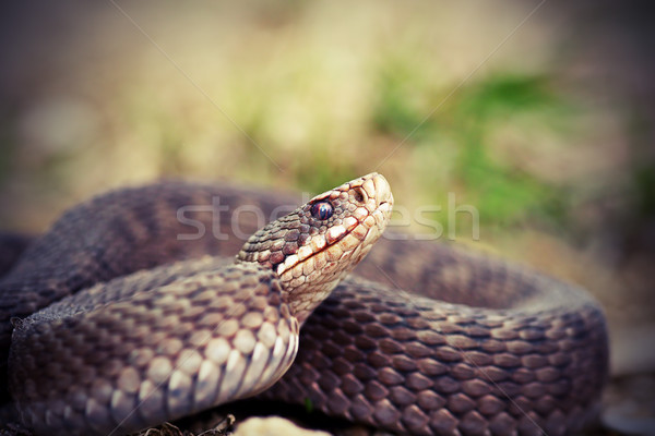 angry european common adder close up Stock photo © taviphoto