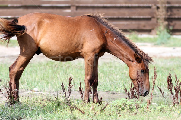 grazing horse Stock photo © taviphoto