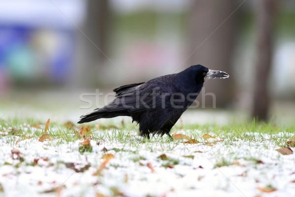 Corvo comida parque preto inverno dia Foto stock © taviphoto