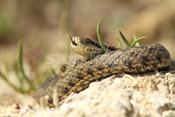 the rarest snake from europe Stock photo © taviphoto