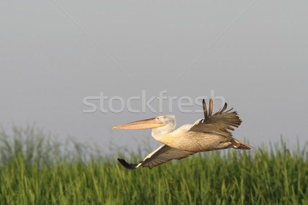 dalmatian pelican flying over marsh Stock photo © taviphoto