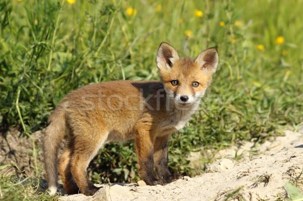 Cute vos welp naar camera Rood Stockfoto © taviphoto