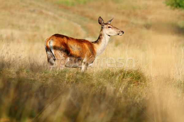 red deer doe on mountain meadow Stock photo © taviphoto
