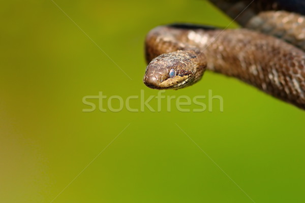 portrait of smooth snake Stock photo © taviphoto