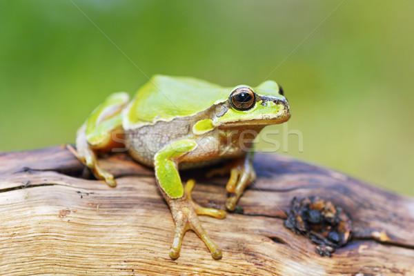 cute little frog Hyla arborea Stock photo © taviphoto