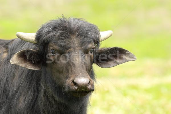 Stock photo: black water buffalo portrait