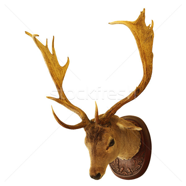fallow deer buck isolated trophy Stock photo © taviphoto