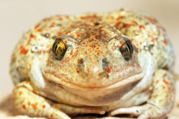 garlic toad beautiful portrait Stock photo © taviphoto