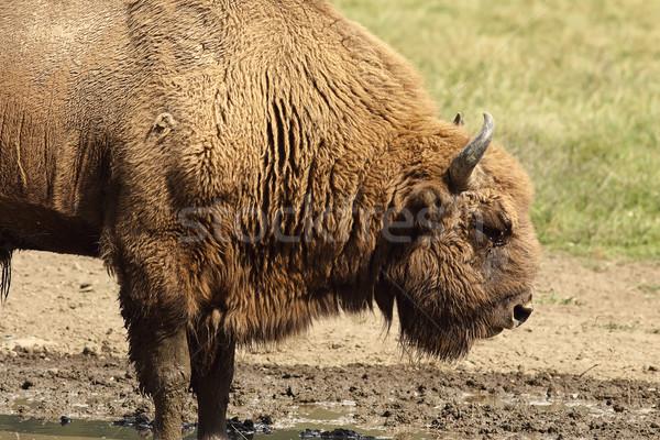 Groot mannelijke europese bizon natuur Stockfoto © taviphoto