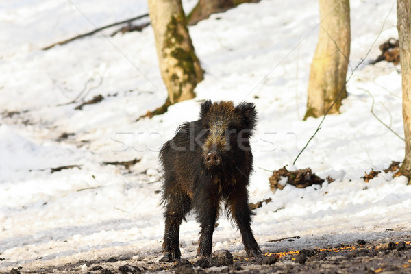 curious young wild boar Stock photo © taviphoto