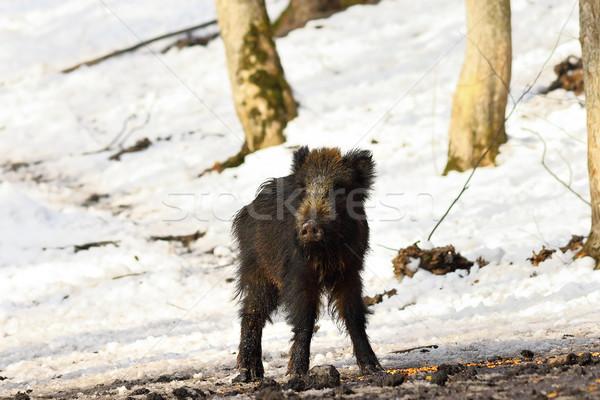 любопытный молодые кабан зима лес Сток-фото © taviphoto