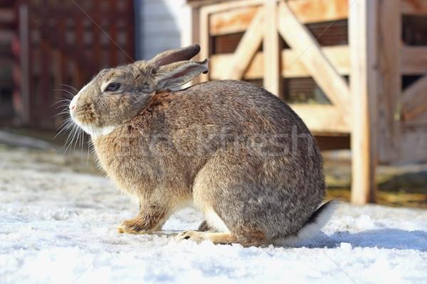 fat brown hare Stock photo © taviphoto