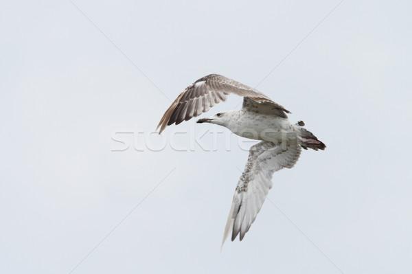 Juvenil voador céu natureza pássaro azul Foto stock © taviphoto