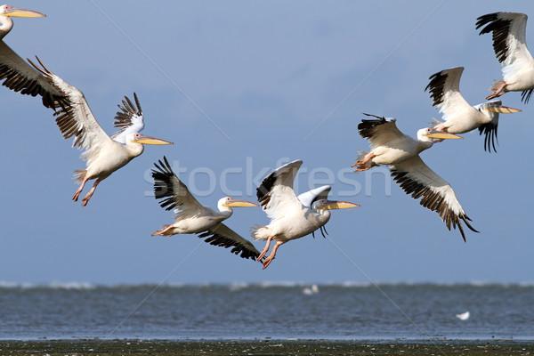 Gyönyörű repülés képződmény égbolt természet madár Stock fotó © taviphoto