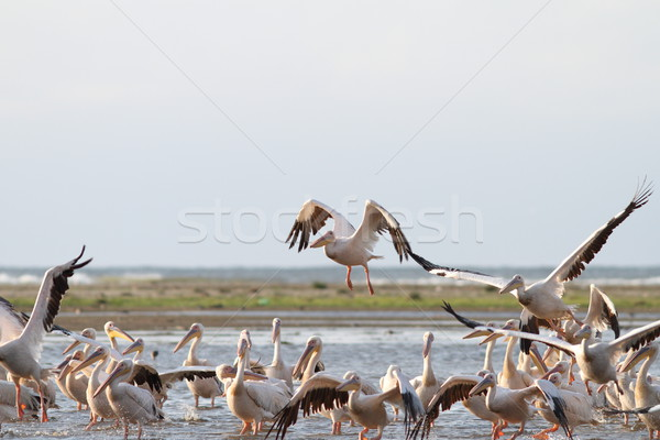 group of great pelicans in shallow water Stock photo © taviphoto