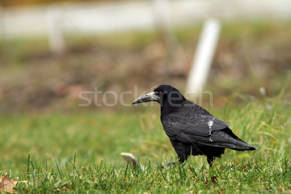 black crow in the field Stock photo © taviphoto