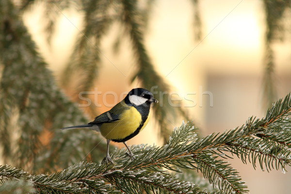 great tit on spruce branch Stock photo © taviphoto