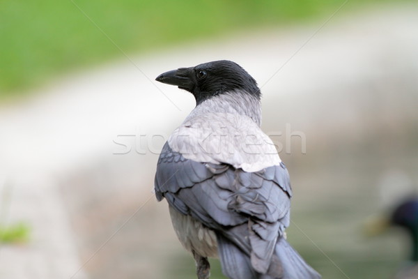 hooded crow in the park Stock photo © taviphoto