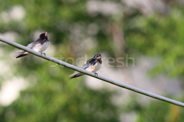 barn swallow standing on electric wire  Stock photo © taviphoto