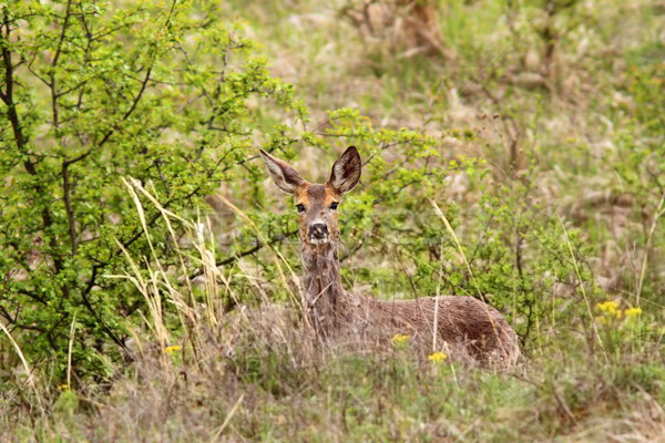 Stock photo: roe deer doe in the bushes