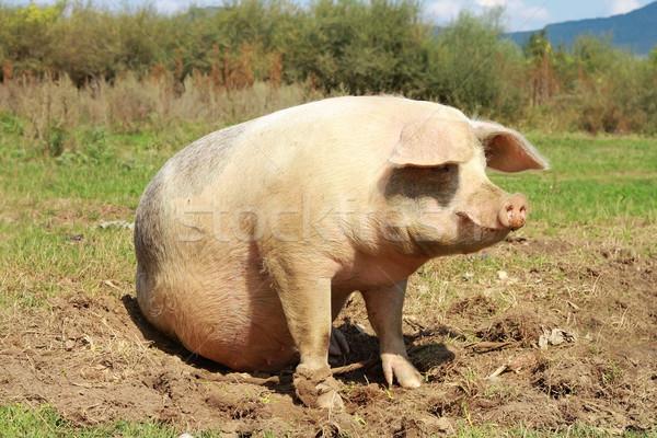 sow near the farm full length Stock photo © taviphoto