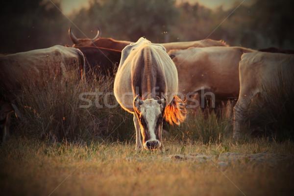 Stock fotó: Tehenek · nyáj · narancs · naplemente · fény · klasszikus