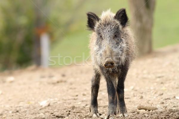 juvenile wild boar Stock photo © taviphoto