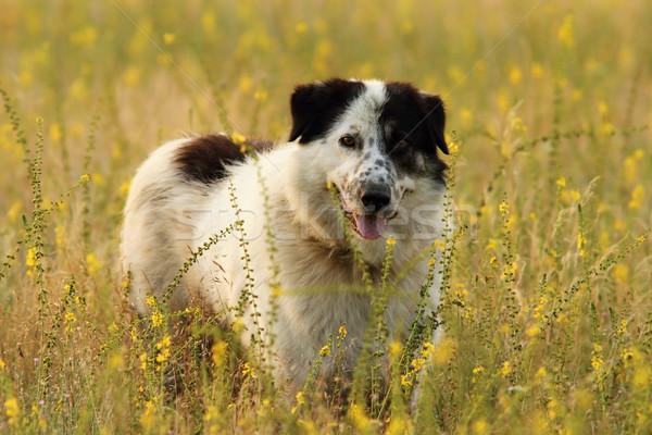 shepherd dog on natural meadow Stock photo © taviphoto