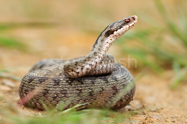 female berus viper in defensive position Stock photo © taviphoto