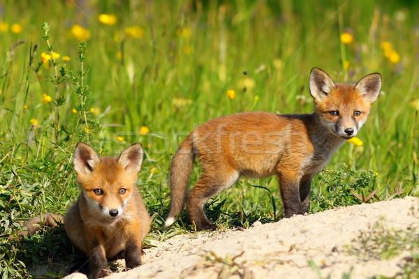 Deux Fox regarder caméra rouge Photo stock © taviphoto
