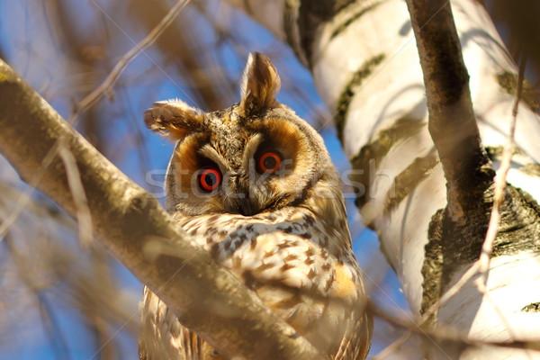 long eared owl in birch tree Stock photo © taviphoto