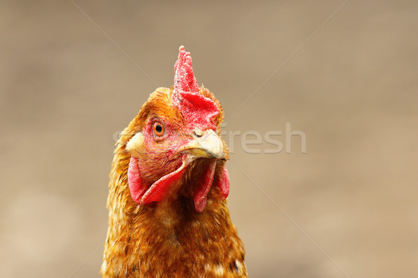Retrato curioso marrón gallina fuera enfoque Foto stock © taviphoto