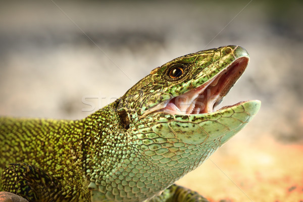 european green lizard trying to bitei Stock photo © taviphoto