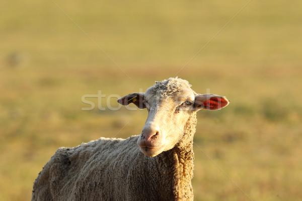 Portret biały owiec na zewnątrz skupić oczy Zdjęcia stock © taviphoto