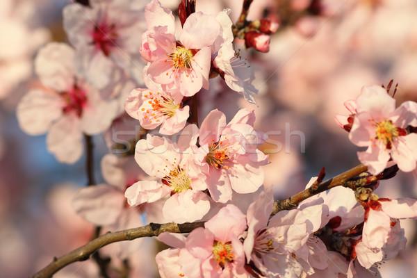 Sakura flores florescer pormenor colorido galho Foto stock © taviphoto