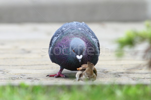 pigeon disputing bread piece with sparrow Stock photo © taviphoto