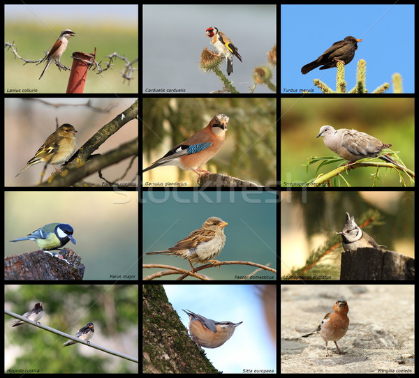 collection of garden birds Stock photo © taviphoto