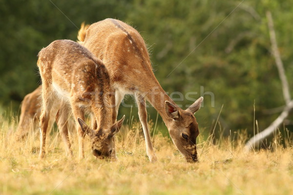 fallow deers grazing in a clearing Stock photo © taviphoto
