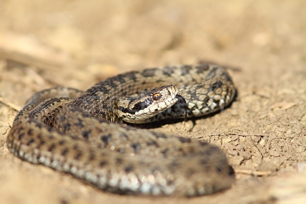 male meadow viper in defensive position Stock photo © taviphoto