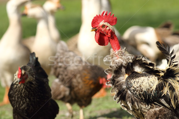 funny rooster on farm yard Stock photo © taviphoto