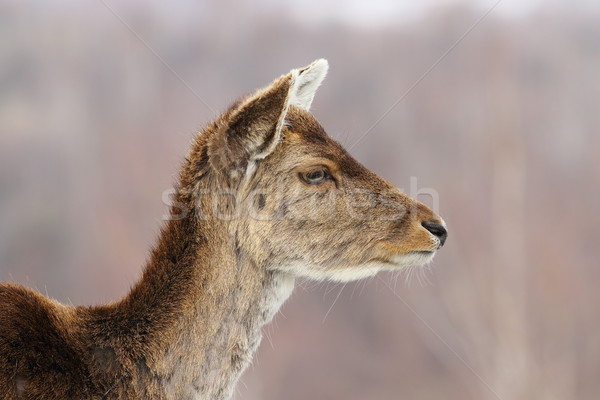 profile view of deer hind head Stock photo © taviphoto