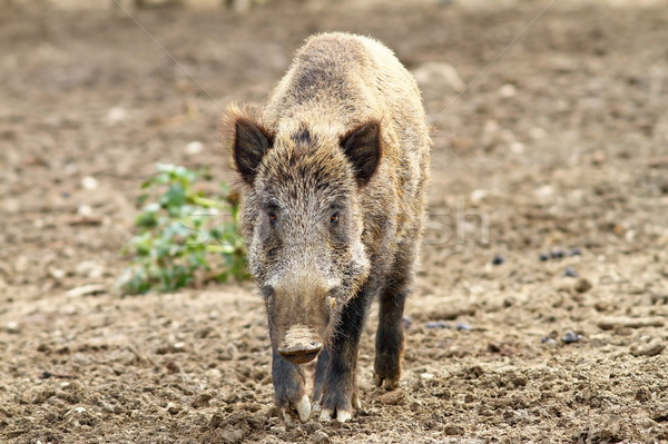 wild boar looking towards camera Stock photo © taviphoto