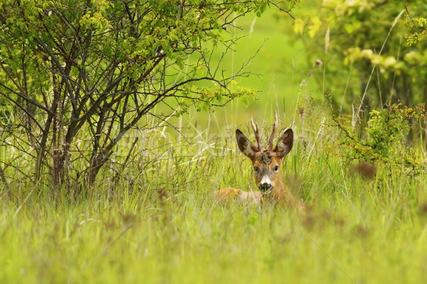 roebuck hiding in the grass Stock photo © taviphoto