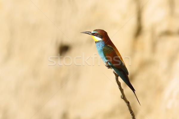 european bee-eater Stock photo © taviphoto